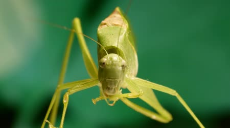 gafanhoto : Large Grasshopper Front (HD). Large grasshopper cleaning antenna and paws.