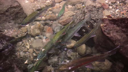 pisztráng : River Rocks with Rainbow Trouts (HD)