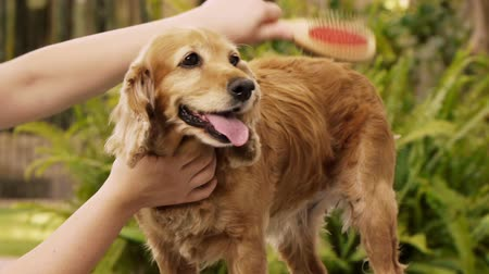 brushing : English Cocker Spaniel Dog Grooming (HD). Female English Cocker Spaniel dog being groomed with a brush seen from the front and side. Stock Footage