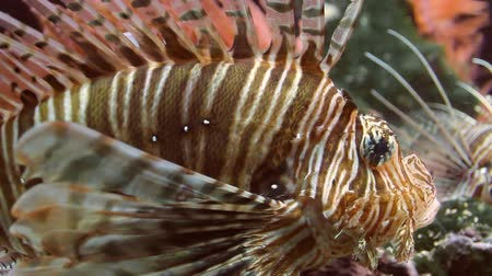 ploutve : Lionfish Close Up (HD). Lionfish seen close up in a water tank. Some tank algae streaks can be seen on the glass close to its face but are barely noticeable.