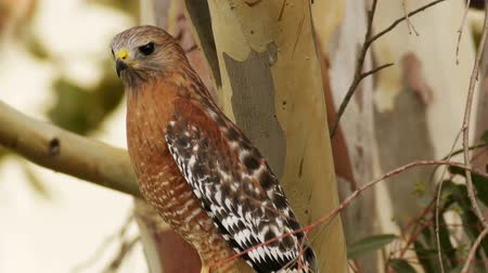 posou : Red Shoulder Hawk Close Up . California USA.