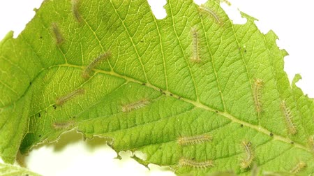 silkworm : Baby Moth Caterpillars On Leaf Speed-up Effective magnification 10x.