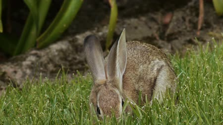 króliczek : Wild Bunny Rabbit Eating Grass