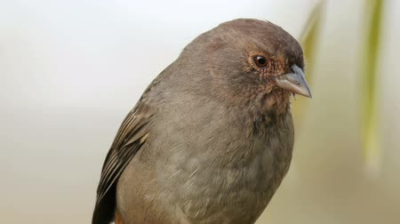 любопытство : Towhee Bird from California Extreme Close Up