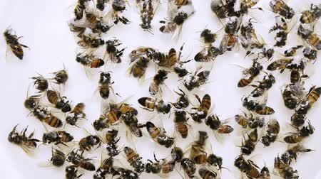 колония : Dead Bees Colony Collapse Disorder. Honey bees victim of colony collapse disorder in a formaldehyde sample preservation liquid shot from above. Стоковые видеозаписи