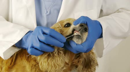 weterynarz : Dog teeth Clean Up and checkup at veterinary clinic. Cocker spaniel female breed.