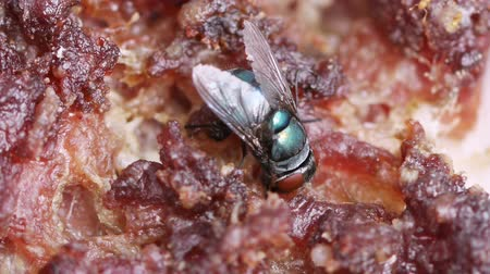 mal cheiroso : Blow Fly on Rotten Meat HD. Shot with macro lens. Stock Footage