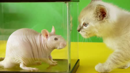 memeli : Rat vs Kitten (HD) Hairless rat looking around inside a glass cage while kitten is interested in it. Stok Video