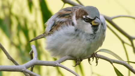 veréb : House Sparrow Close Up (HD). The House Sparrow (Passer domesticus) seen close up on a branch.