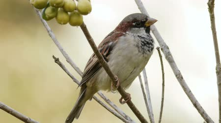 любопытство : House Sparrow Male on Tree Branch