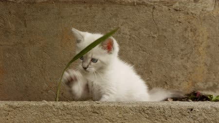 kotě : Kitten Fighting Grass Stalk (HD). Blue eyed one month old kitten playing and biting a tall grass stalk.