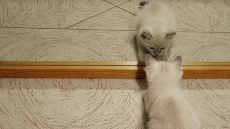 tükör : Kitten Fights Mirror (HD). Blue eyed one month old siamese kitten looking at a mirror and fighting with his reflected image playfully. Stock mozgókép
