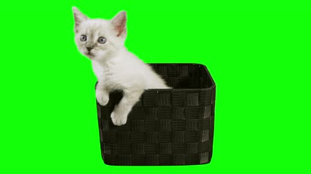 kotě : Kitten In Box Green Screen (HD) Siamese one month old kitten shot against green screen inside a mesh box.