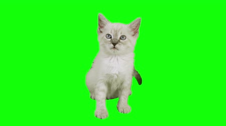 kotě : Cat Sitting Green Screen (HD) Siamese one month old kitten shot against green screen in a sitting position.