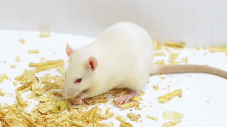 roedor : White rat eating a crunchy food. Ambient audio included.