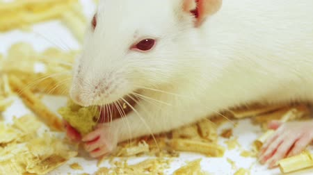 krysa : White Rat Eating Close Up (HD). White rat eating a crunchy food extreme close up. Ambient audio included shot.