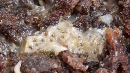 decomposition : Maggots Eating Meat