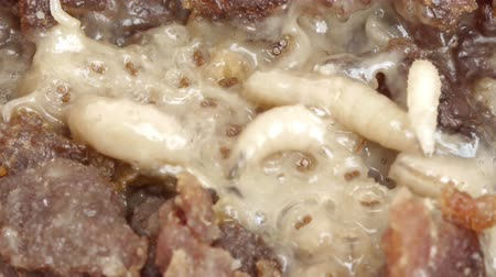 decomposition : Maggots close up Stock Footage