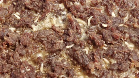 decomposition : Blow Fly Larvae on Rotten Beef  Part 9