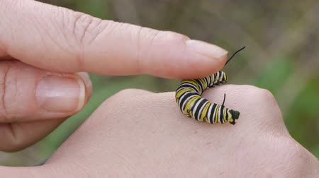 hernyó : Female hands caressing Monarch Caterpillar. Work Excretes after stimulation.