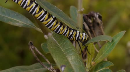 lagarta : Monarch Caterpillar Eating Milk Weed Plant Time Lapse