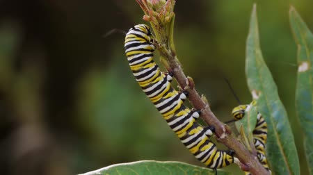 hernyó : Monarch Caterpillar On Milk Weed Plant Eating Buds.