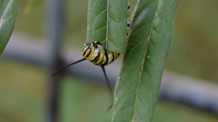 hernyó : Monarch Butterfly caterpillar eating milkweed leaf timelapse speedup. Stock mozgókép