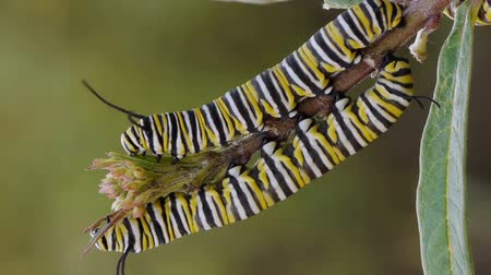 féreg : Tilt view of two Monarch Caterpillars On Milk Weed Plant Eating the Buds.