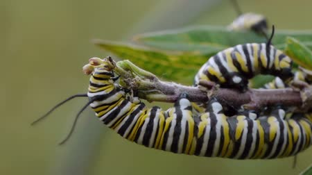 hernyó : Monarch Butterfly caterpillars eating milkweed flower buds. Stock mozgókép