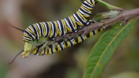 hernyó : Timelapse of Monarch Caterpillars On Milk Weed Plant Eating the Buds. Stock mozgókép