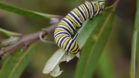 hernyó : Monarch Caterpillar On Milk Weed Plant Rotating while moving.