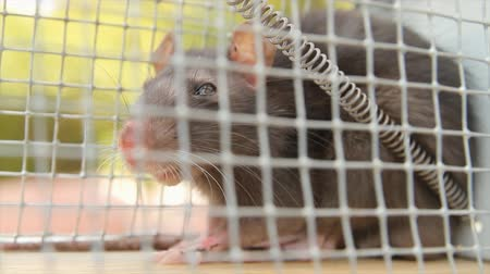 krysa : Rat Trapped in Cage With Mites in Eyes Close Up