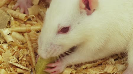 muis : White Rat eten close-up (HD). White rat eten een knapperige voedsel extreme close-up. De audio opgenomen schot. Stockvideo