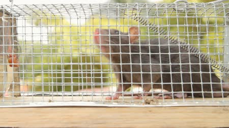 armadilha : Rat Trapped in Cage