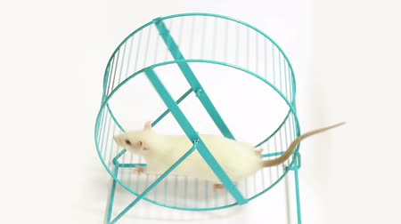 krysa : Rat on Exercise Wheel (HD). White Lab rat gets some exercise on a metal bar wheel then dismounts off after a few turns.