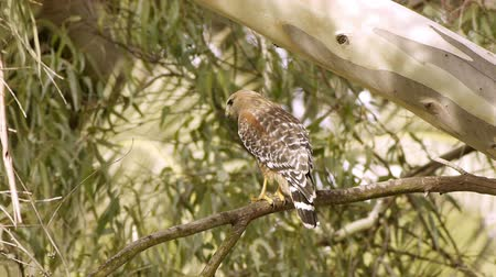 közepes : Red Shouldered Hawk On Branch (HD). Red Shouldered Hawk in the wild seen perched on an Eucalyptus tree branch. Southern California marshlands.