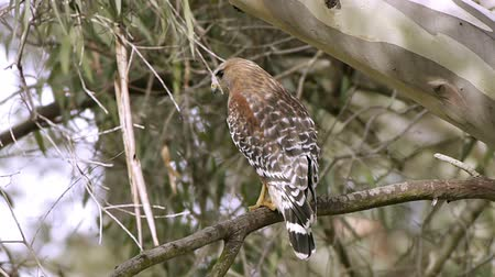 sas : Red Shouldered Hawk Bird (HD). Red Shouldered Hawk in the wild seen perched on an Eucalyptus tree branch. Southern California marshlands.