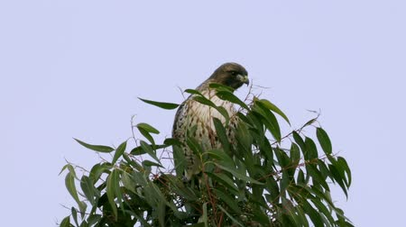sas : Red Tail Hawk On Tree (HD). Wild red tail hawk perched on top of a eucalyptus tree in Southern California.