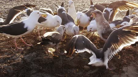 fry : Seagulls Eat French Fries at Beach (HD) Stock Footage
