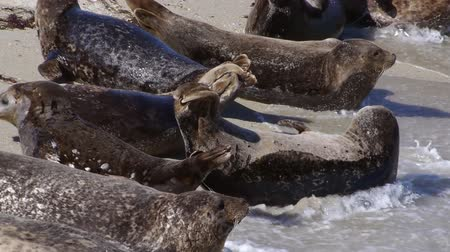 çiftleşme : Seal Colony Waves Hit Youngling