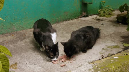 kotki : Two dark Alley Cats eating canned food on a sidewalk. Wideo