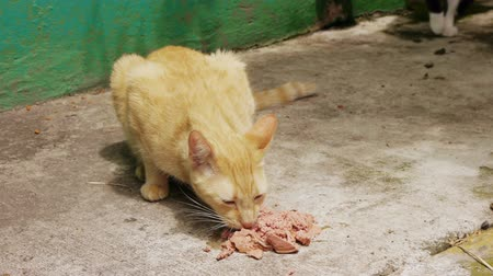 kotki : Yellow Alley Cat eating canned food on a sidewalk.