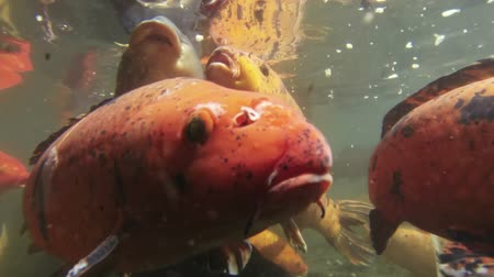 kapr : Koi Carp Pass Camera Close Underwater