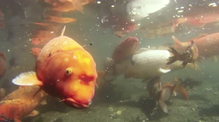 kapr : Koi Carp Fish Seen Underwater in Slow Motion.  Inside a Pond.  Shot One Dostupné videozáznamy