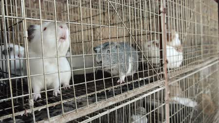 świnka morska : Guinea Pigs Caged Waiting for Feed. Wideo