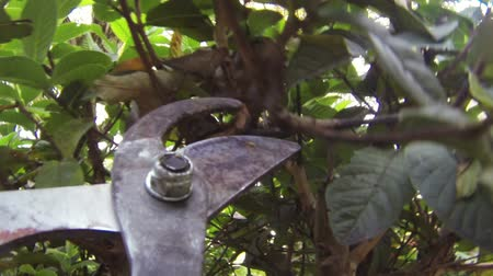 vágás : Pruning Guava Tree Branches With Attached Camera on Shears.