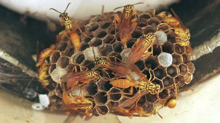 hive : Wasp Hive with soldiers, workers and larvae. Stock Footage