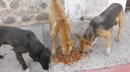 homeless : Three Stray Dogs Eating Solid Dog Food On the Sidewalk.