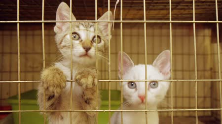kotki : Kittens act attentive Inside animal shelter cage waiting for adoption. Wideo