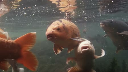 kapr : Koi fish swimming underwater in shallow lake bed.